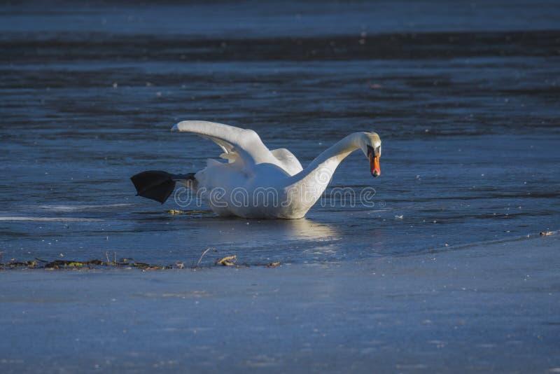 Cigno sul ghiaccio fotografia stock