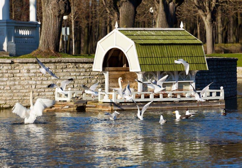 Cigno sul nido a Tallinn fotografie stock