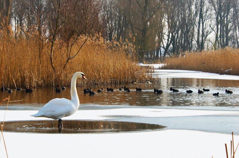 Cigno in un paesaggio di inverno immagini stock libere da diritti