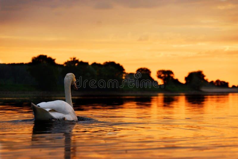 Cigno verso il tramonto immagine stock
