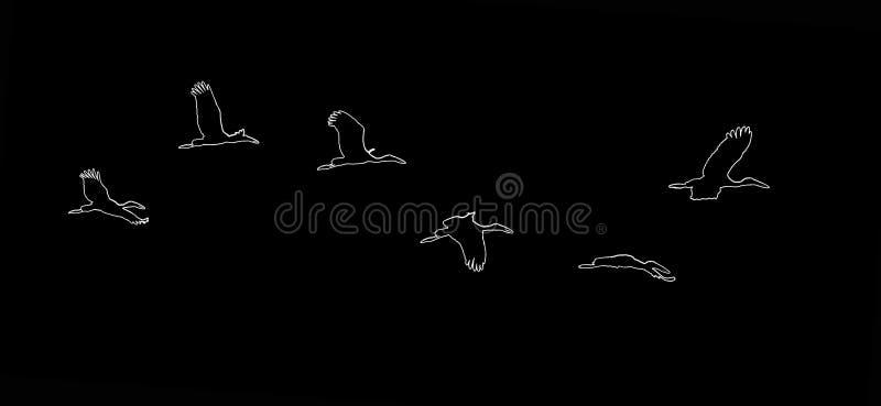 Cigogne affichée Open colorée blanche asiatique, oscitans d'Anastomus, cigogne blanche de l'Inde dans les oiseaux de faune d'habi illustration stock
