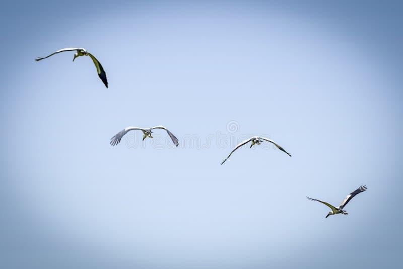 Cigogne affichée Open colorée blanche asiatique, oscitans d'Anastomus, cigogne blanche de l'Inde dans les oiseaux de faune d'habi photo libre de droits