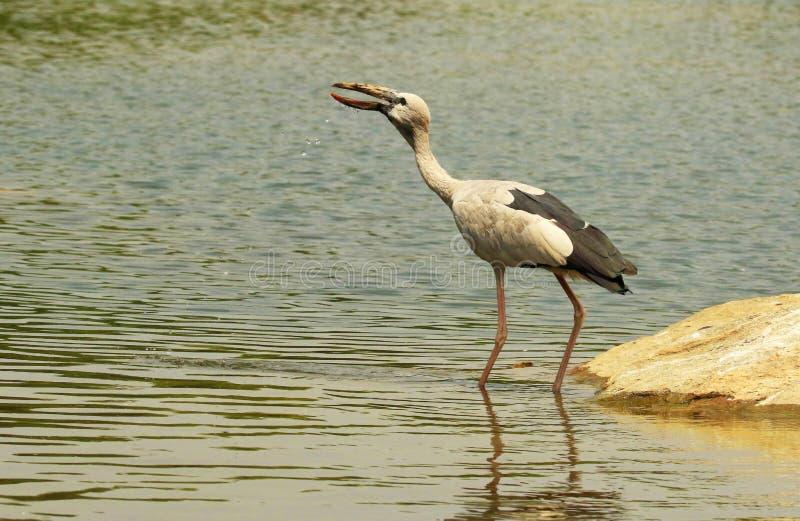 Cigogne affichée Open, oscitans d'Anastomus, réserve d'oiseaux de Ranganathittu, Karnataka, Inde images libres de droits