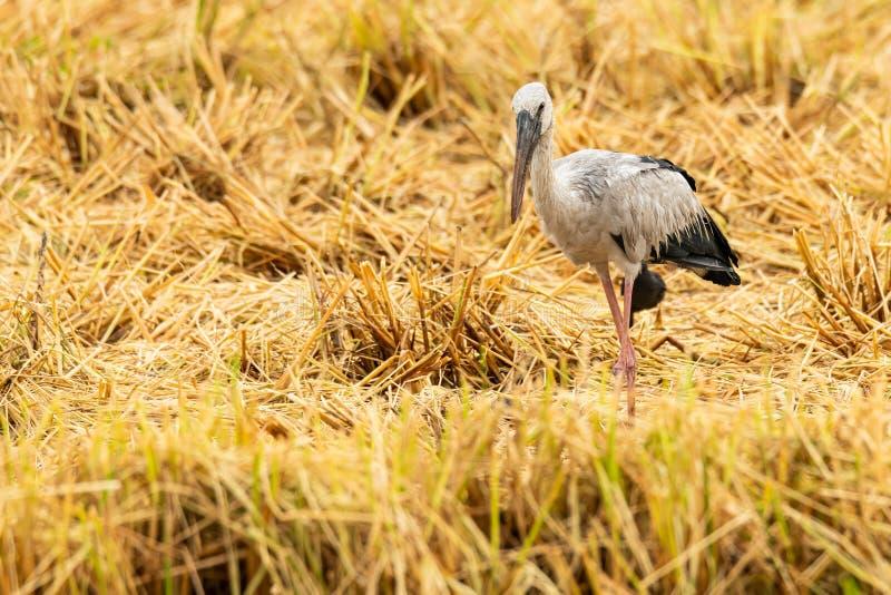 Cigogne asiatique d'openbill dans la rizière après la moisson photo libre de droits