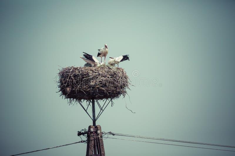 Cigogne avec des oiseaux de bébé dans le nid, Pologne image libre de droits