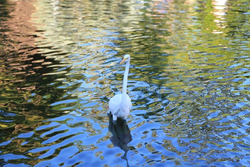 Cigogne blanche photographie stock