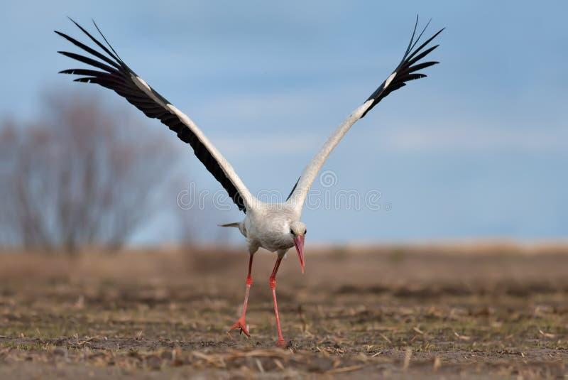 Cigogne blanche décollant avec les ailes soulevées photo libre de droits