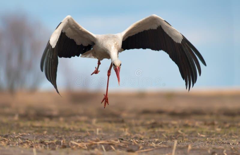Cigogne blanche décollant du champ au sol nu photographie stock libre de droits