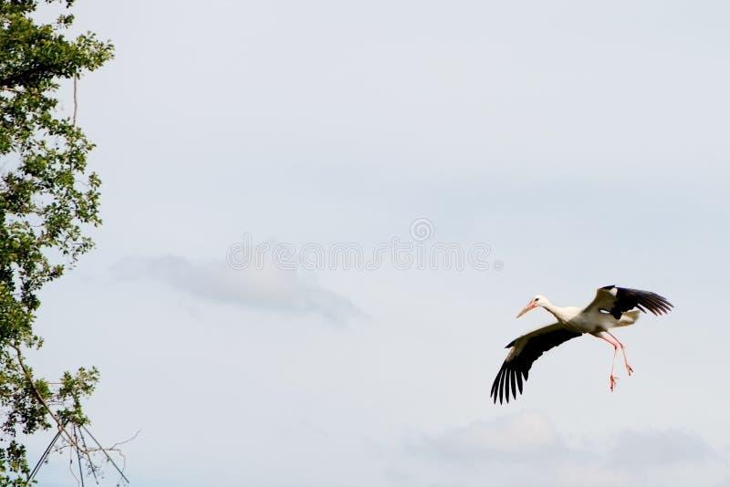 Cigogne blanche seule dans le ciel photo libre de droits