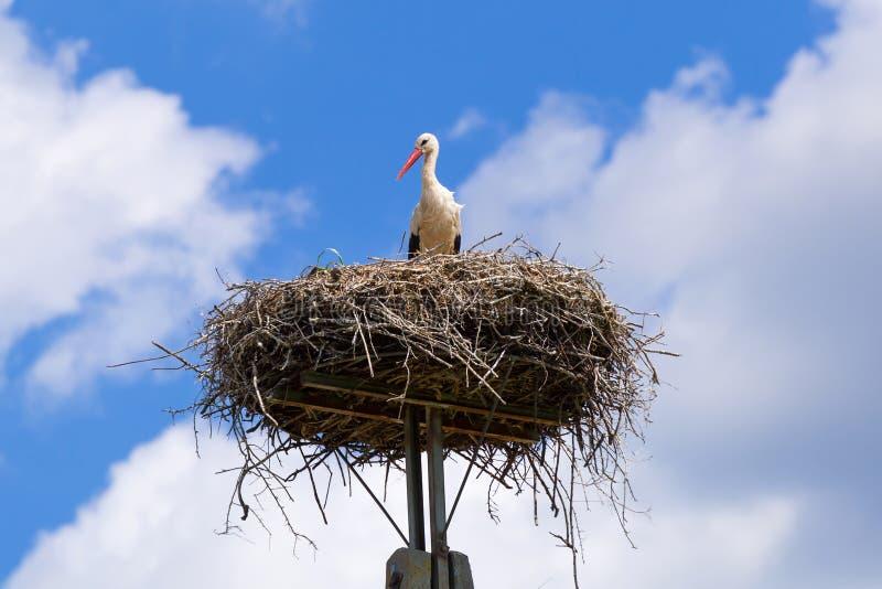 Cigogne dans le nid avec des oiseaux de bébé image stock