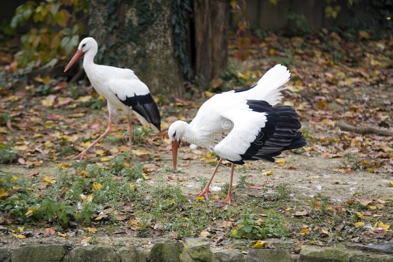 Cigogne de couples images libres de droits