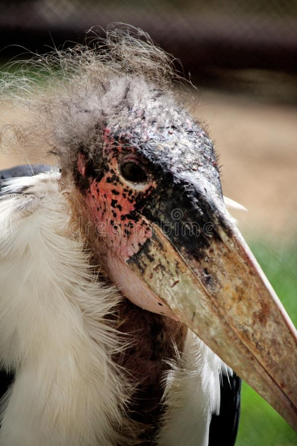 Cigogne de marabout image libre de droits