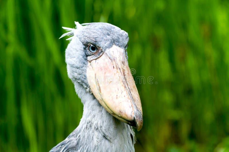 Cigogne de shoebill de portrait images libres de droits