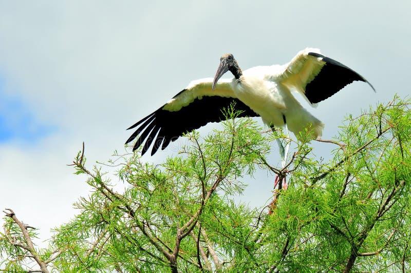 Cigogne en bois blanche sur la branche d'arbre dans le marécage photographie stock libre de droits