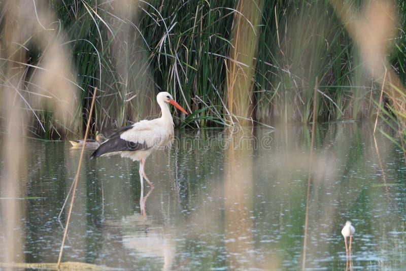 Cigogne, noir et blanc adultes, marchant par les eaux du lac Ivars et Vilasana photographie stock libre de droits