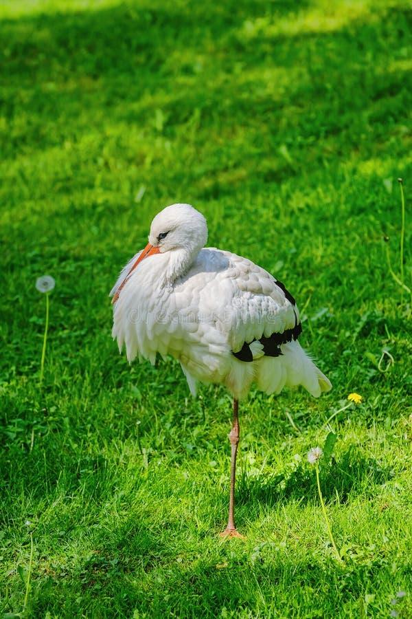Cigogne sur l'herbe images stock