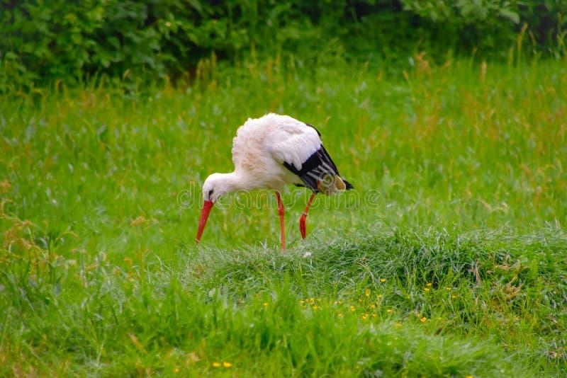 Cigogne sur le pré et dans le nid photo libre de droits