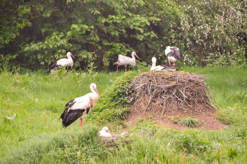 Cigogne sur le pré et dans le nid image libre de droits