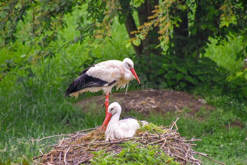 Cigogne sur le pré et dans le nid photos stock