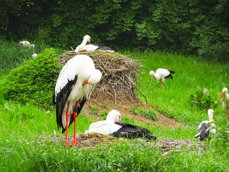 Cigogne sur le pré et dans le nid image stock