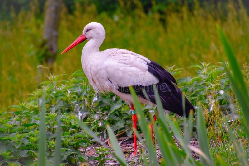 Cigogne sur le pré et dans le nid photographie stock