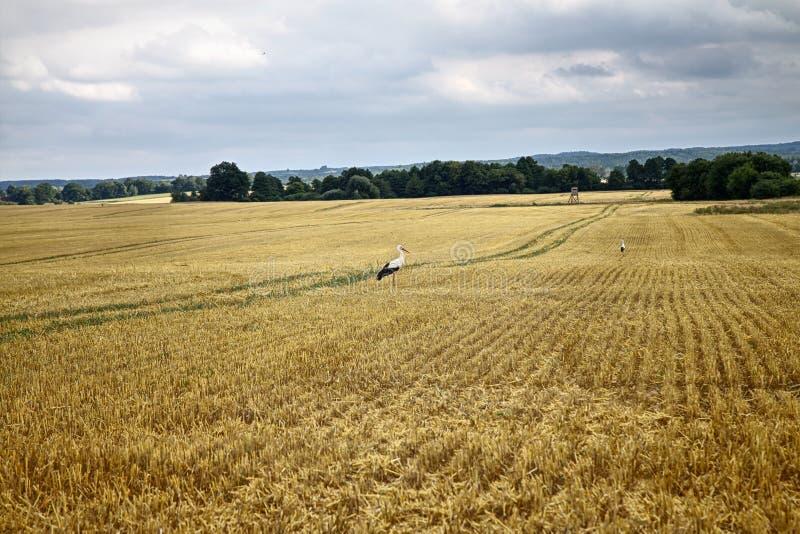 Cigognes sur la zone de maïs photographie stock libre de droits