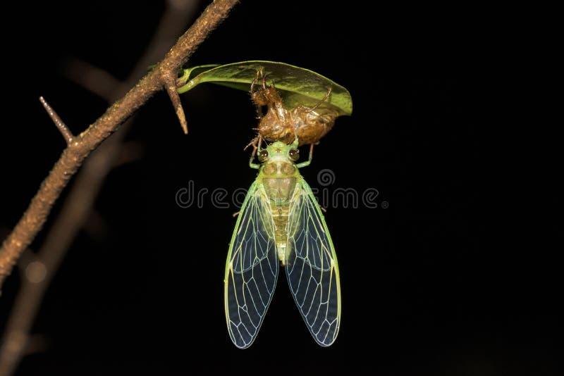 Cikada på ruggningen, Cicadoidea, Matheran, Maharashtra, Indien royaltyfri foto