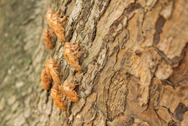 Cikada som ruggar på träd arkivbild