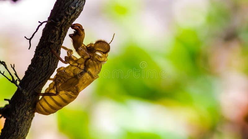 Cikadakryp som ruggar på träd i natur fotografering för bildbyråer