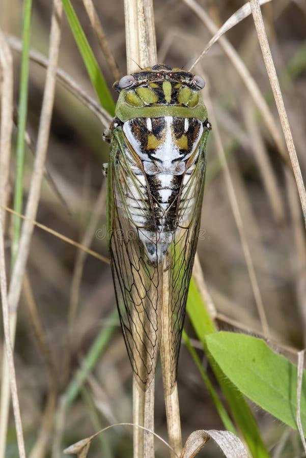 CikadaTibicendealbatus som hänger på en torkad stjälk av gräs arkivbilder