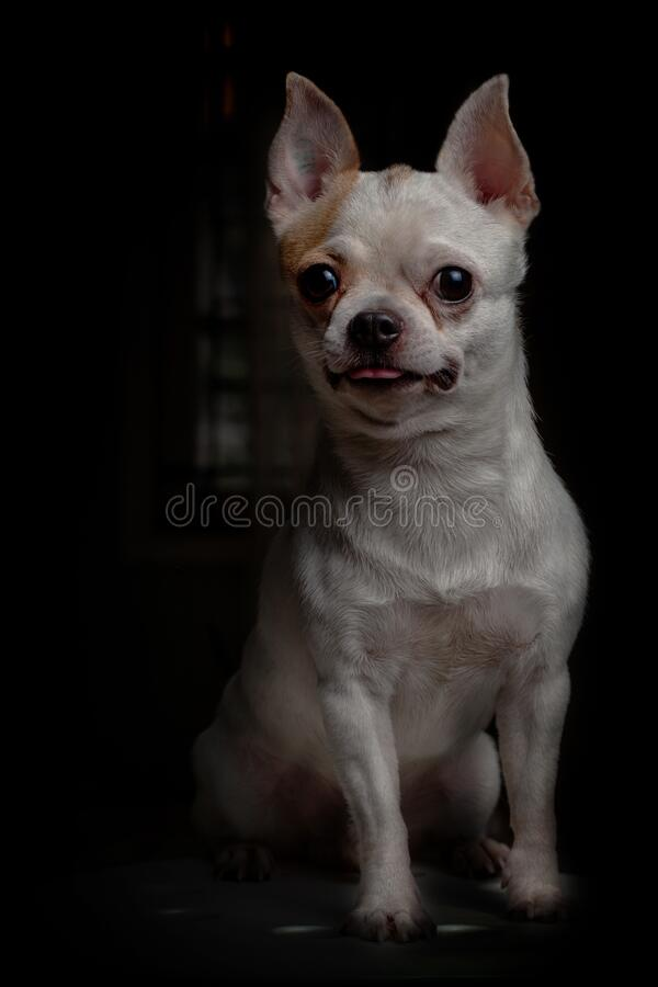 Cikohuahua one fine healthy puppy stock photography
