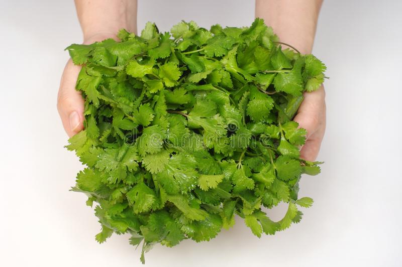 cilantro δεσμών στοκ εικόνες