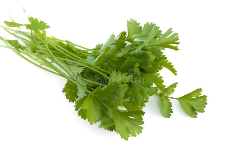 cilantro zdjęcia stock