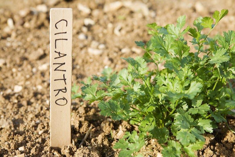 cilantro стоковая фотография rf
