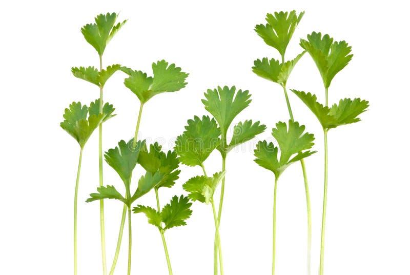 cilantro стоковое фото rf