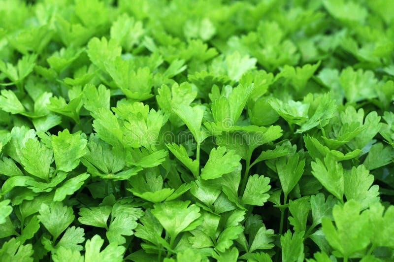 cilantro стоковое изображение rf