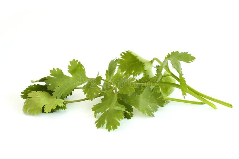 cilantro стоковые фотографии rf