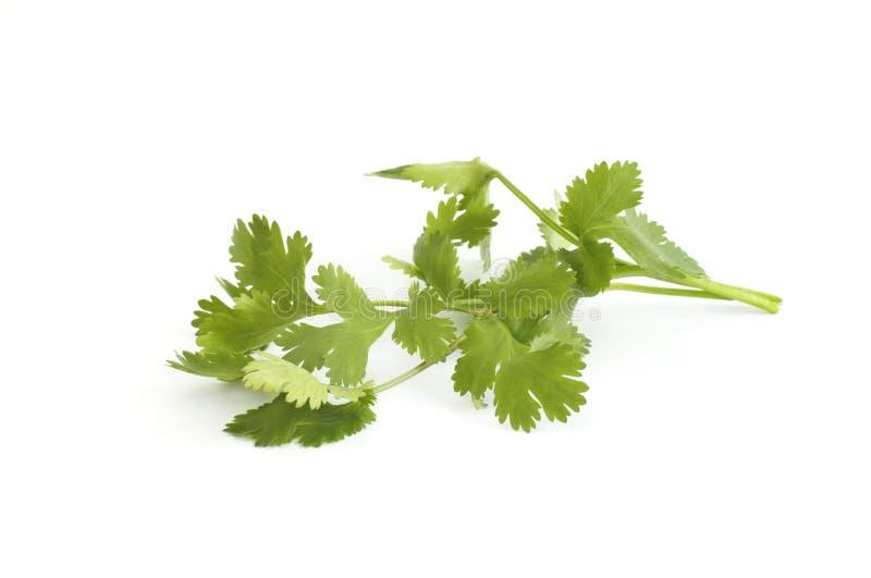 cilantro стоковая фотография