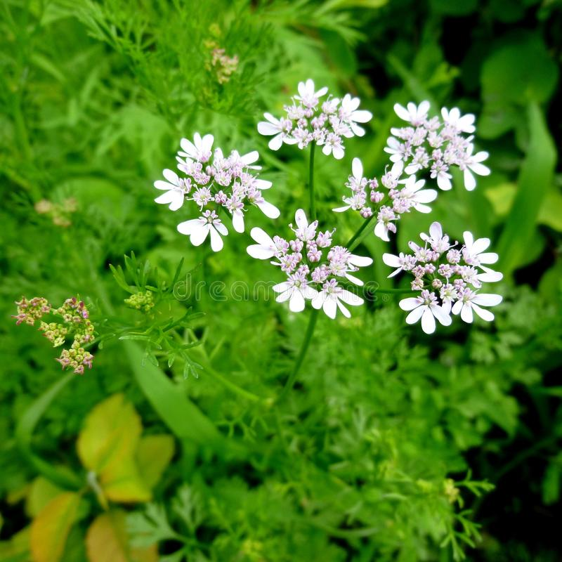 Cilantro blossom. White flower on coriander plant royalty free stock photography