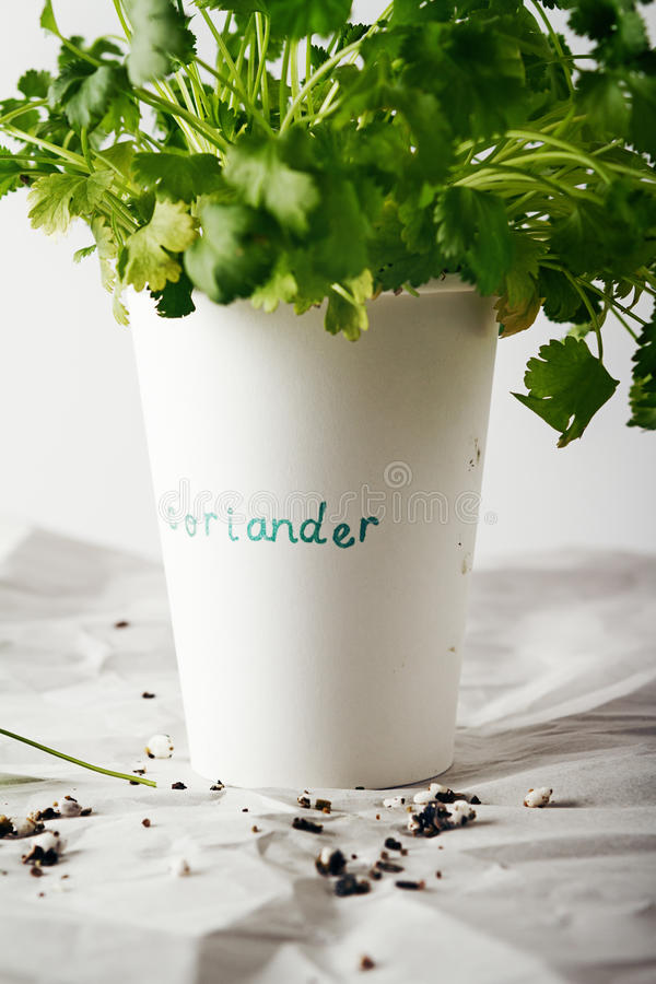 Cilantro coriander herb growing in a paper cup stock photo