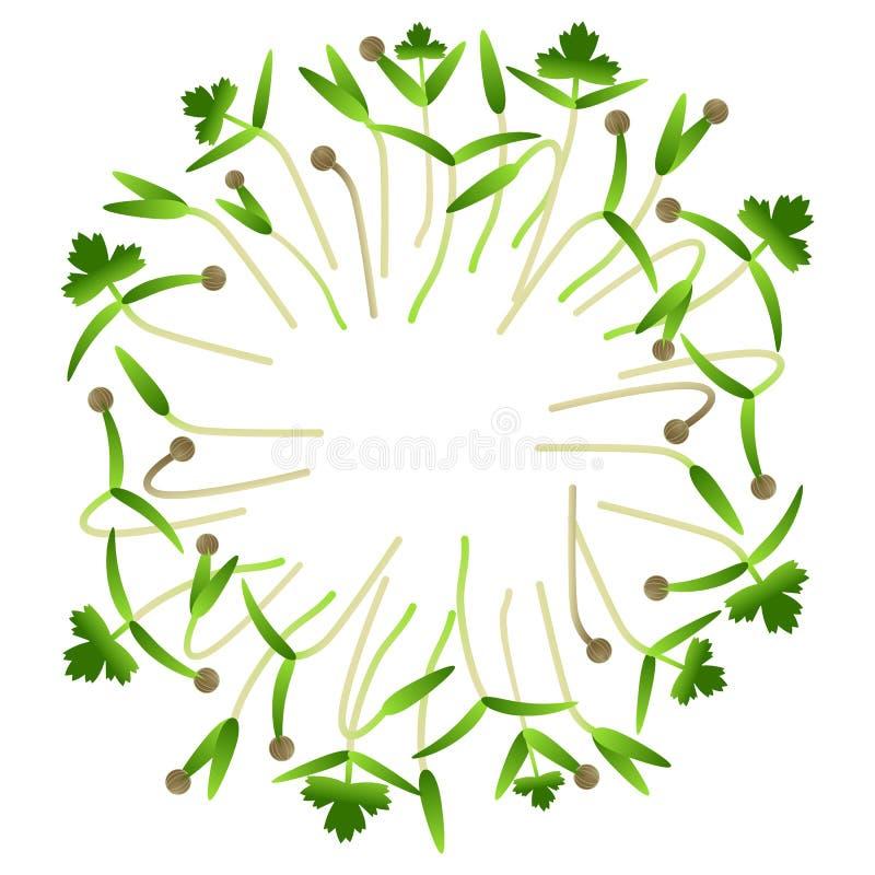 Cilantro de Microgreens Disposé en cercle Fond blanc illustration libre de droits