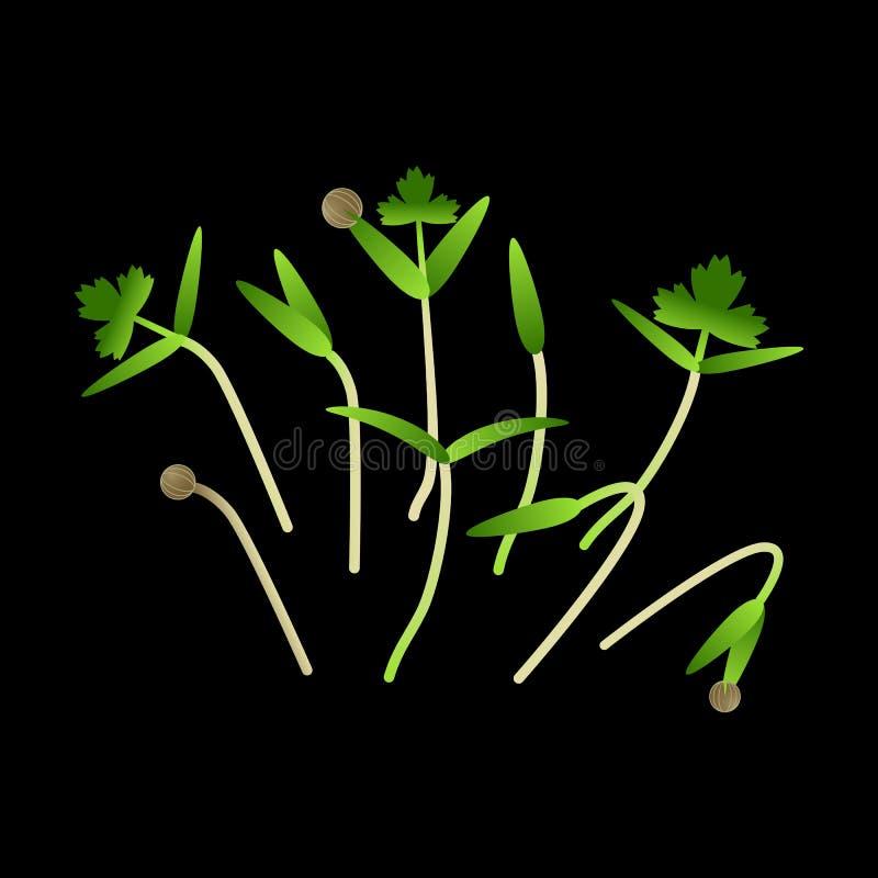 Cilantro de Microgreens Groupe d'usines Fond noir illustration libre de droits