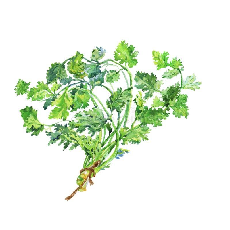 Cilantro de peinture, coriandre Verdure fraîche tirée par la main Illustration végétarienne d'aquarelle sur le fond blanc illustration libre de droits