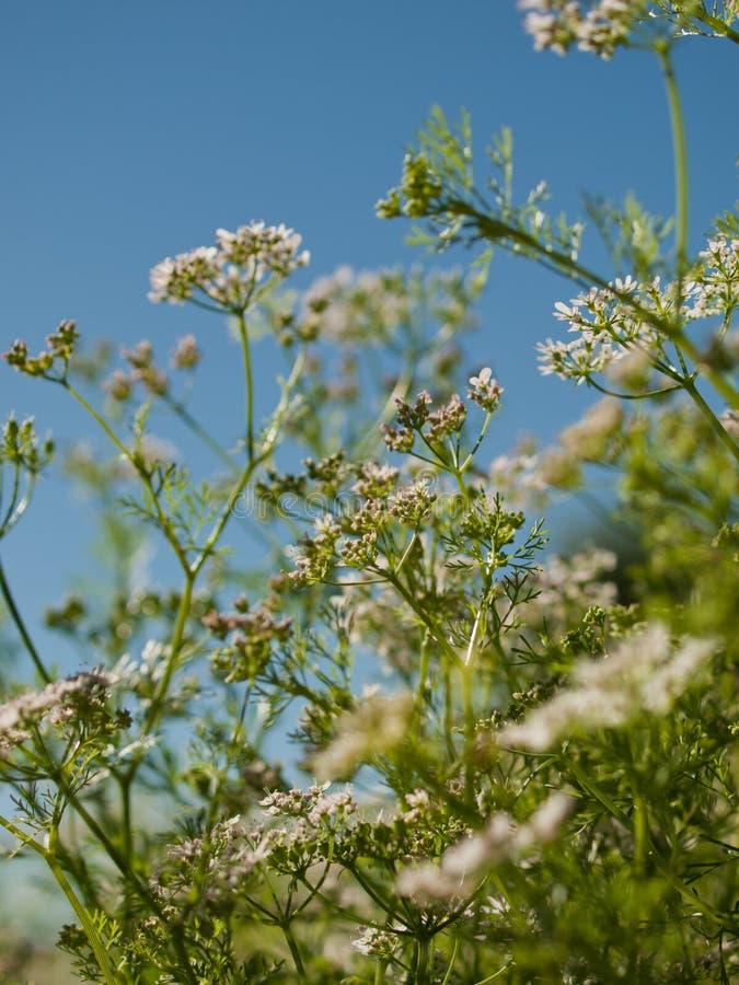 Cilantro in fioritura fotografie stock