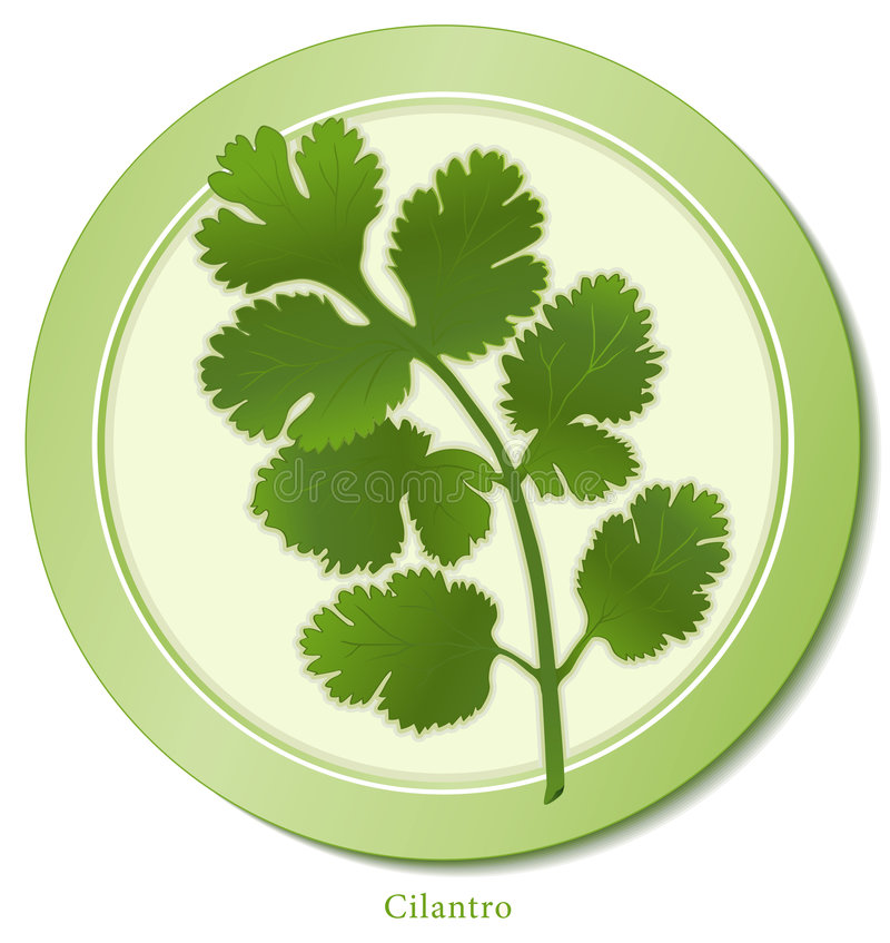 Free Cilantro Herb Royalty Free Stock Images - 8263649