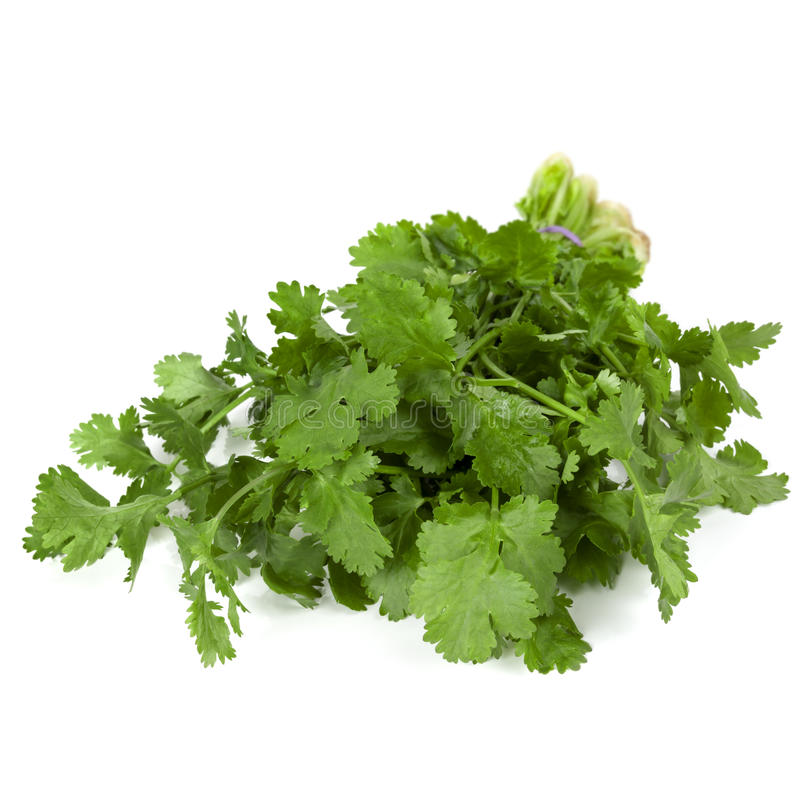 Download Cilantro Isolated stock image. Image of fresh, herb, white - 31425761