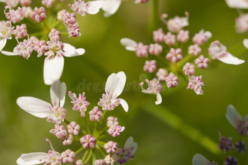 Cilantro na flor imagem de stock royalty free