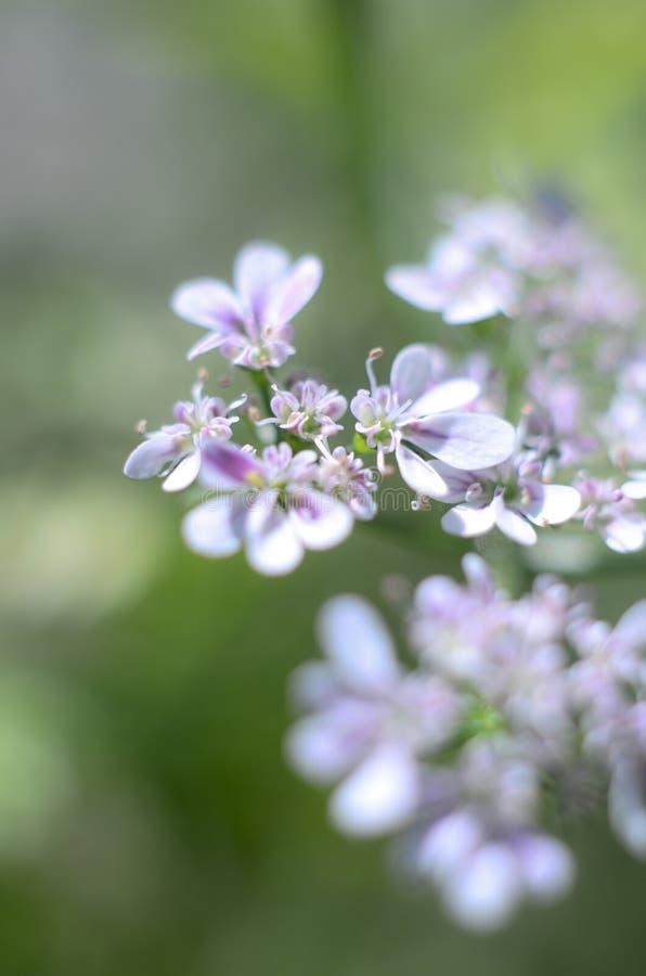 Cilantro na flor fotografia de stock