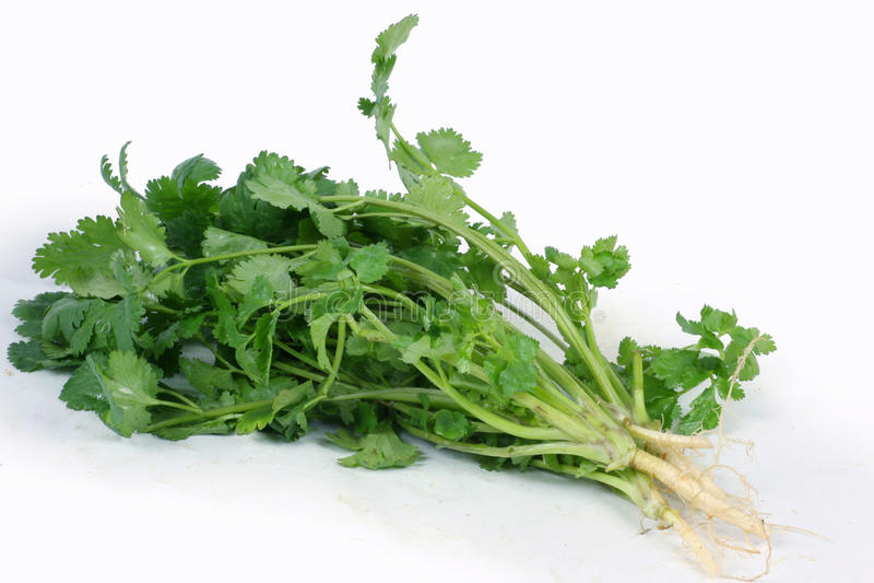 cilantro serie kolendrowe zielarskie zdjęcia royalty free