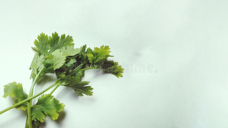 Cilantro sur le fond blanc d'isolement photographie oblique d'actions de vue photos stock